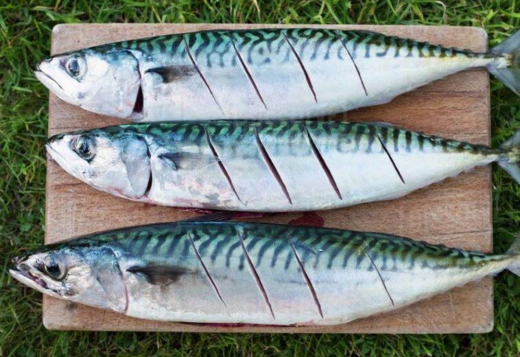 Manfaat Mengonsumsi Ikan Gembung Untuk Kesehatan